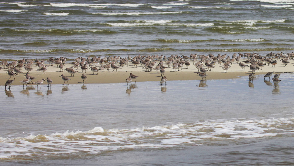Red Knots in Winter Plumage
